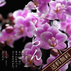 桜のようなラン。春のお花見を思い出す母の日2011マイクロさくらん【花鉢】【送料無料】【早割...