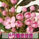 生花鉢植えにおい桜