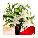 お正月の花『ホワイトリリー 』生花 新年の花 年始 お歳暮 新年 生花 正月アレンジメント 新年の挨拶