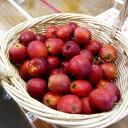 季節限定品[花材ナチュラル] 姫りんご/アルプスの乙女1個