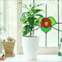【装飾選べる】コーヒーの木♪ラウンド白陶器【鉢B】つやつや葉っぱが可愛い♪カード文字入れ・...
