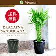 【送料無料】幸運を呼ぶ!中型7号ミリオンバンブー(ドラセナ サンデリアーナ)(竹の鉢カバーI付き)