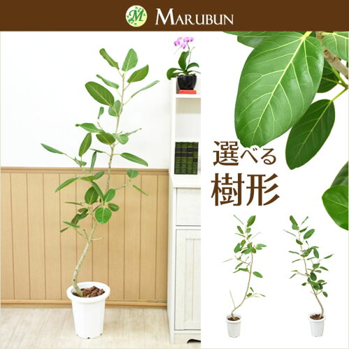 観葉植物♪フィカス ベンガレンシス 中型(150〜161cm)さまざまな枝のフォームを...