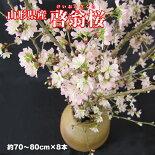山形県産冬の桜「啓翁桜」8本(70-80cm)[年末お届け]