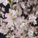 春一番♪冬に咲くサクラで、お部屋や玄関のお出迎えに♪(s)ご家庭用 山形県産「啓翁桜」(約...