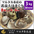 【送料無料】 蓄養はまぐり 8年もの6cm〜8cmサイズ蛤(ハマグリ)3kg(30粒前後)入