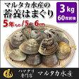 【送料無料】蓄養はまぐり 5年もの5cm〜6cmサイズ蛤(ハマグリ)3kg(60粒前後)入