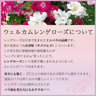 ウェルカムレンゲローズミニバラ四季咲きリング鉢植えアイアンスタンド付敬老の日フラワーギフト