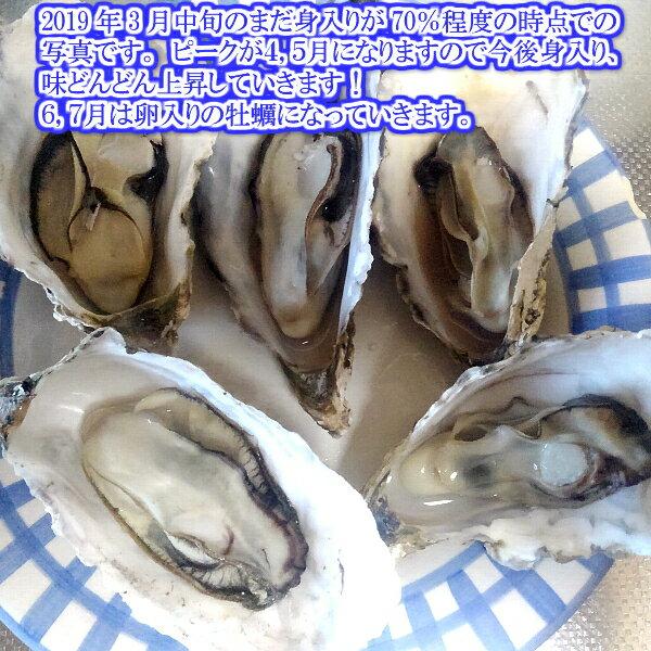 【生の】割れB品20kg(約240粒)クール便! 宮城県産 殻付き牡蠣 殻付き 殻付 カキ 加熱用 一年子 松島牡蠣屋 無選別牡蠣 訳あり あす楽対応