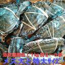 ワタリガニ メス大と特大(1kgで約2−3杯) 渡り蟹 ガザミ 梭子蟹 ケジャンにも! 活発送 1k ...