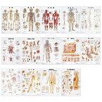 人体解剖学チャート(ポスターサイズ)自律神経系S ラミネートバン 1枚 アプライ 11-2230-0036