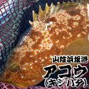 超高級魚アコウ(キジハタ)【浜坂産】
