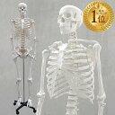 1年保証 人体模型 約166cm 人体骨格模型 等身大の人体の骨格をリアルに表現!人体骨格模型 ヒュ ...