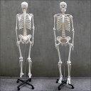 1年保証 人体模型 約166cm 人体骨格模型 等身大の人体の骨格をリアルに表現!人体骨格模型 ヒューマンスカル 模型 人体模型 骨格標本 骨格モデル 整体 整骨院 おもちゃ 楽天 リアル 小道具 おもちゃ ★[送料無料] 3