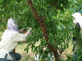 【予約販売】岡山の桃、ぶどう詰め合わせ【ご進物・贈答用フルーツ】※お届けは7月下旬以降予定