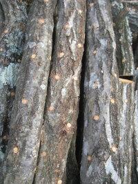 【予約】原木しいたけ植付済みほだ木※準備出来次第お届け4月中旬予定