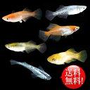 メダカ めだか おまかせ ヒカリ体型めだかミックス 未選別 稚魚(SS〜Sサイズ) 20匹セット ミックス ヒカリ ホタル メダカ 淡水魚