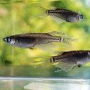 ブラックヒレ長スワローめだか5匹セット/黒ひれ長スワローメダカ淡水魚