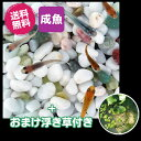 (メダカ) 紀州色彩セット 20匹セット + おまけ浮き草付き / ミックス 浮き草 水草 メダカ 淡水魚