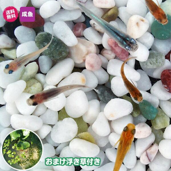 メダカ紀州色彩セット20匹セット+おまけ浮き草付きミックス浮き草水草メダカ淡水魚