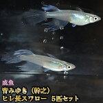 青みゆき(幹之)ヒレ長スワローめだか松井系5匹セット/青みゆき(幹之)ヒレ長スワローメダカ
