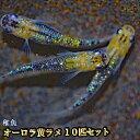 【タイムセール】オーロラ黄ラメめだか 虹色ラメ 未選別 稚魚 SS〜Sサイズ 10匹セット / オーロラ黄ラメメダカ