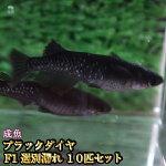 【限定大特価】ブラックダイヤ(オロチラメめだか)F110匹セット/オロチラメメダカ