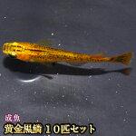 黄金黒鱗めだか10匹セット/黄金黒鱗メダカ【RCP】
