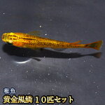 黄金黒鱗めだか稚魚SS〜Sサイズ10匹セット/黄金黒鱗メダカ【RCP】
