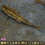 琥珀ラメみゆき(幹之)めだか虹色ラメ10匹セット/琥珀ラメみゆき(幹之)メダカ