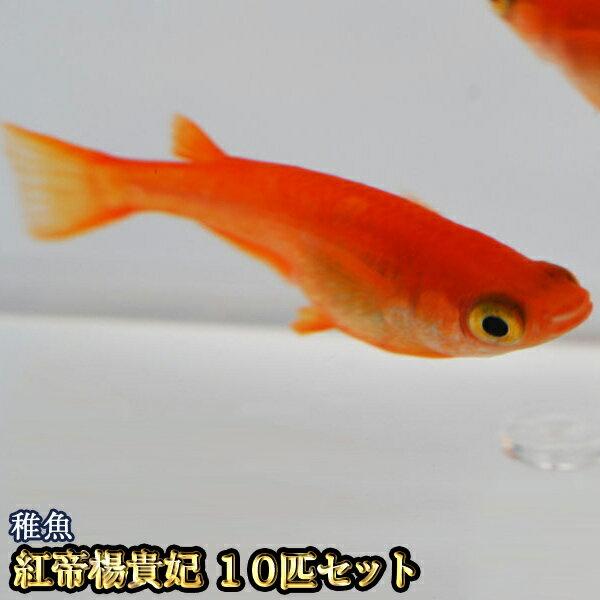 紅帝楊貴妃めだか稚魚SS〜Sサイズ10匹セット/紅帝楊貴妃メダカ