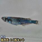 黒百式めだか未選別稚魚SS〜Sサイズ10匹セット/黒百式メダカ