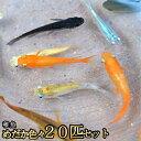 【送料無料】めだか色々お楽しみ 稚魚 SS〜Sサイズ 20匹セット / メダカ (※沖縄は別途送料必要)