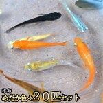 【限定大特価】【送料無料】めだか色々お楽しみ稚魚SS〜Sサイズ20匹セット/メダカ
