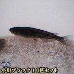 小川ブラックめだか稚魚SS〜Sサイズ10匹セット/小川ブラックメダカ稚魚SS〜Sサイズ10匹セット