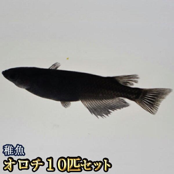 オロチめだか稚魚SS〜Sサイズ10匹セット/オロチメダカ