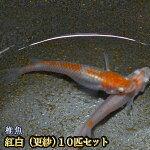 紅白めだか未選別稚魚SS〜Sサイズ10匹セット/紅白メダカ/更紗