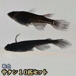 オロチヒレ長スワローめだか未選別稚魚SS〜Sサイズ10匹セット/オロチヒレ長スワローメダカ/サタン