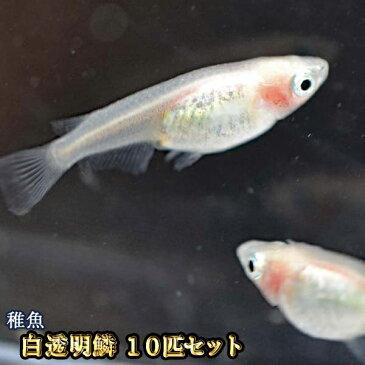白透明鱗めだか 未選別 稚魚 SS〜Sサイズ 10匹セット / 白透明鱗メダカ / 紅ほっぺ