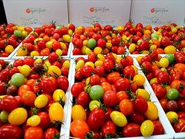 【美味しいトマト詰め合わせ】送料無料【トマトギフト】とまと・ミニトマト5〜7種類♪果実のメロディー・母の日・ご贈答・お誕生日・ご家庭用に送料無料ミニとまと【楽ギフ_包装】【楽ギフ_のし】