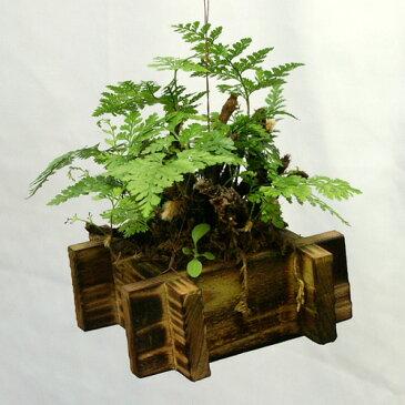釣りしのぶ 井戸 /植木/盆栽/植物/シノブ/吊りしのぶ