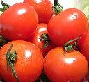 【送料無料】越前産 越のルビー高級ブランドトマト約900g高栄養・高糖度のミディトマト【smtb-...