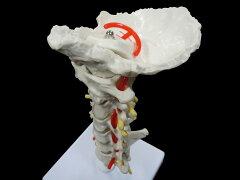 骨格模型 脊髄 椎骨 骨 頸椎人体模型 頸椎模型 椎骨動脈・脊髄付きモデル