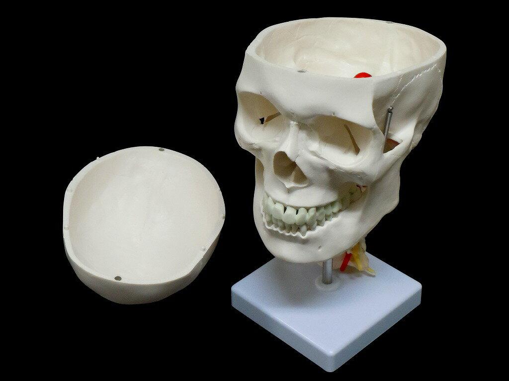 人体模型 頭蓋骨 実物大 精密模型 頸椎付き