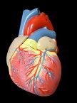 【送料無料】心臓模型 実物大 弁 右心房 左心房 右心室 左心室 人体模型