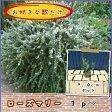 ローズマリー半這性9.0cmポット1p〜/苗