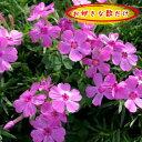 芝桜(シバザクラ・しばざくら)ピンクアドミラル10.5cmp ピンク 桜色 1p〜♪/苗