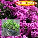 緑の空(SORA)で買える「【肥料プレゼント!】芝桜(濃桃)ダニエルクッション40pセット/苗(シバザクラ・しばざくら」の画像です。価格は4,400円になります。