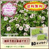 【送料無料!】【肥料プレゼント!】ヒメイワダレソウ(リピア)80pセット/苗