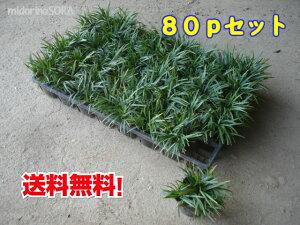 【送料無料!】タマリュウ(玉竜)80pセット/苗